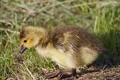 pic of mother goose  - Cute young cackling goose close - JPG