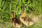 foto of mother goose  - Nestlings of the Canada geese are staying on the grass field - JPG