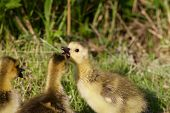 pic of mother goose  - Cute chicks of the Canada geese are talking something like gossips - JPG
