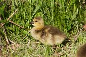picture of mother goose  - Cute young cackling goose on the green grass - JPG