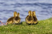stock photo of mother goose  - Cute company of young geese near the lake - JPG