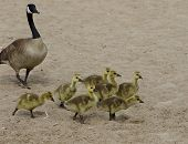 stock photo of mother goose  - Funny young geese on the sand beach - JPG