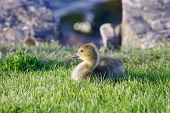 picture of mother goose  - The young cackling goose is laying on the green grass - JPG