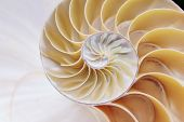 pic of section  - nautilus shell cross section spiral segments sections - JPG