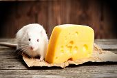 pic of rats  - Pet rat with a large piece of cheese - JPG