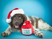 image of newfoundland puppy  - Cute Newfoundland puppy laying on a blue background wearing a Santa hat with copy space - JPG