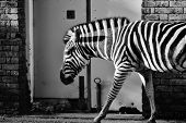 picture of camoflage  - Black and white zebra walking past doors as if on the street