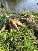 stock photo of fishermen  - Freshly caught perch - JPG