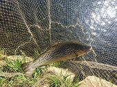 pic of trout fishing  - Trout - JPG