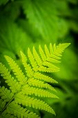 picture of fern  - Close up of a growing fern leaf - JPG