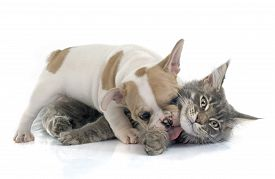 picture of coon dog  - puppy french bulldog and maine coon cat in front of white background - JPG
