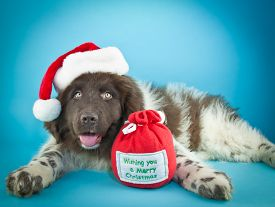 foto of newfoundland puppy  - Cute Newfoundland puppy laying on a blue background wearing a Santa hat with copy space - JPG