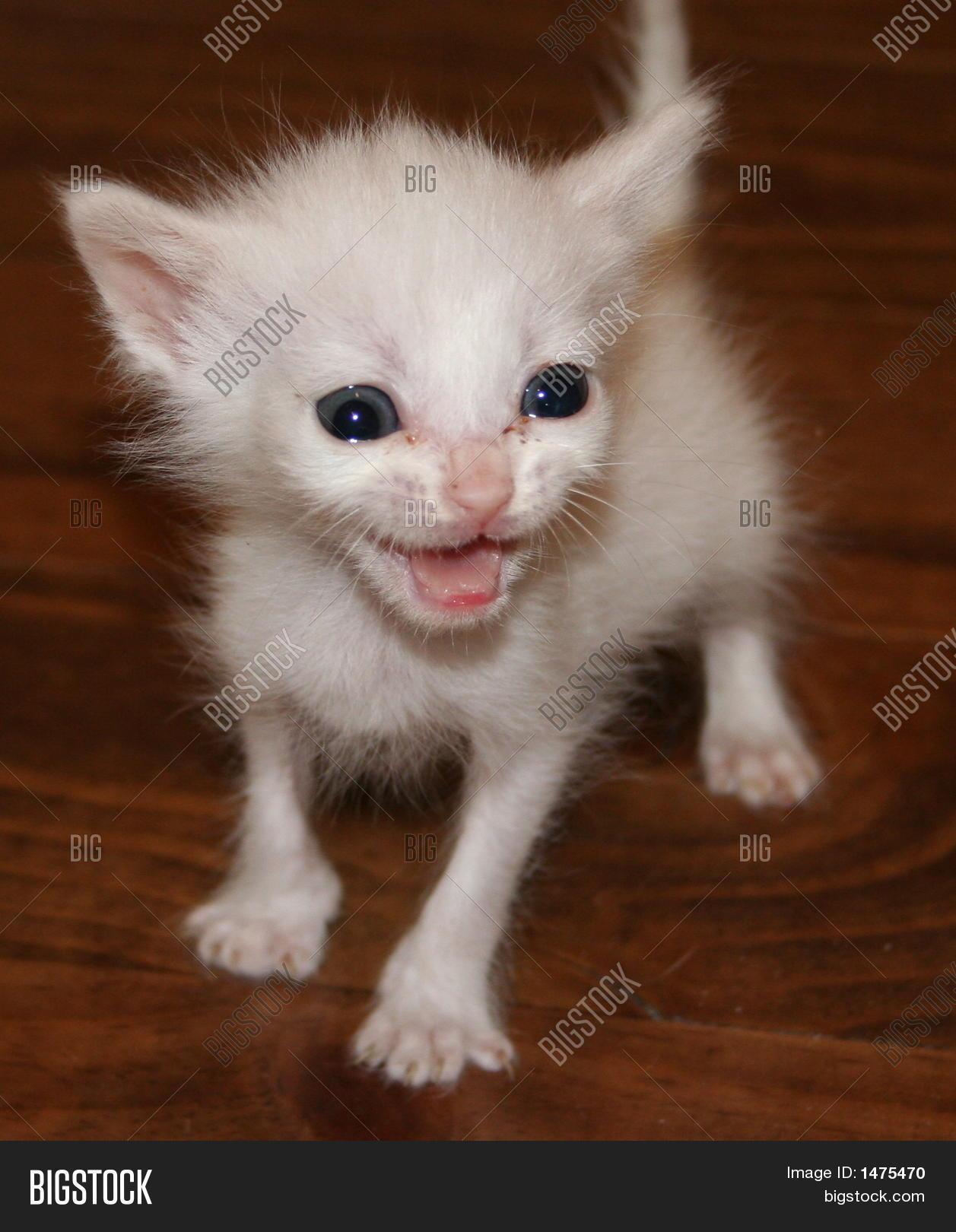 White Skinny Kitten Looking At Camera Stock Photo Stock