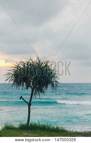 Beautiful tropical plant Pandanus tree on sand beach