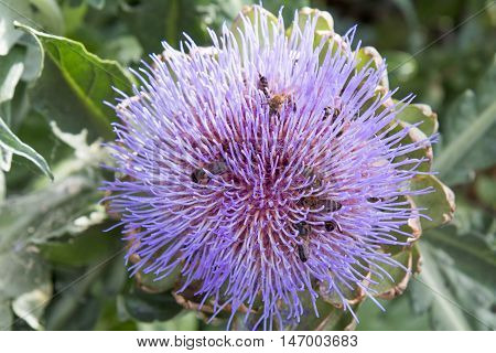 Bees pollinating the purple flowering head of an artichoke. Close up of purple flowering. Agriculture homegrown food vegetables sustainable household concept.