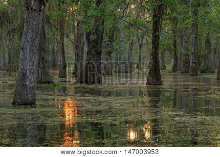 LAKE MARTIN LOUISIANA May 3 2015 : The sun rises on Bayou of Louisiana. Lake Martin in St. Martin Parish is a wildlife preserve and one of Louisiana swamplands.