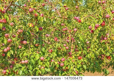 Apple trees with ripe red fruits in the autumn garden in sunny day