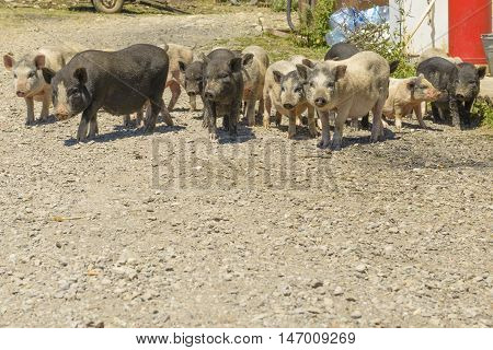 pigs in the barnyard in the village