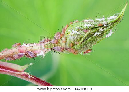 Rose Bud Being Eaten