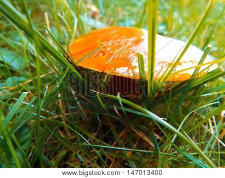 edible mushroom greasers in green summer grass