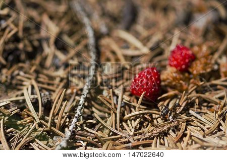 Ant and two wild strawberries. Selective focus