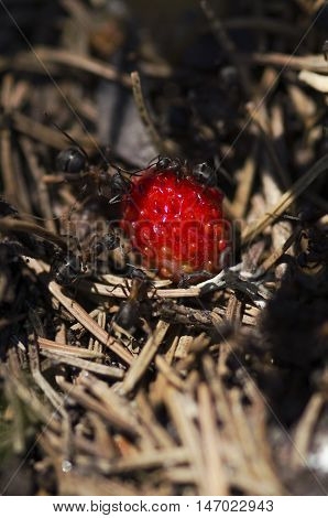 Delicious wild strawberry and ants. Selective focus