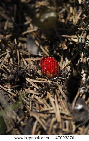 Selective focus on a wild strawberry in an anthill