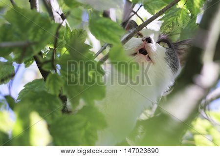 Scared cat hides between foliage and meows sitting on a tree