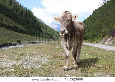 Cattle in Lechtal Valley in Tirol. Austria