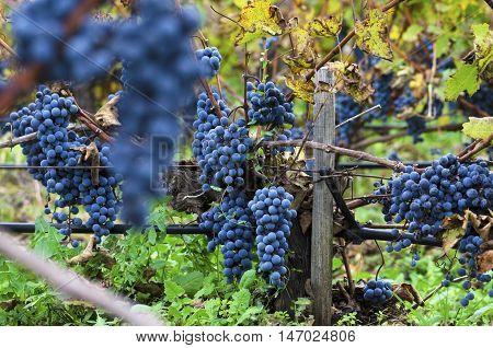 Merlot clusters in a vineyard during the vine harvesting in Bulgaria. Selective focus
