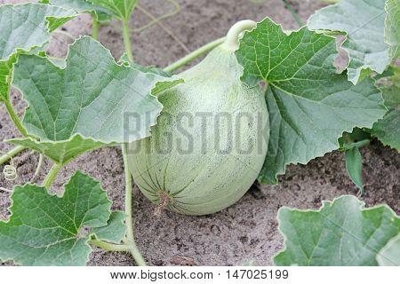 Green unripe pumpkin ripens in the garden