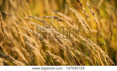 spikelets dry grass on a blurred background summer season