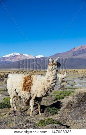 The Andean Landscape With Prinacota Volcano, Bolivia