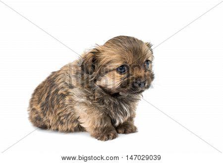 small baby pekingese dog isolated over white background