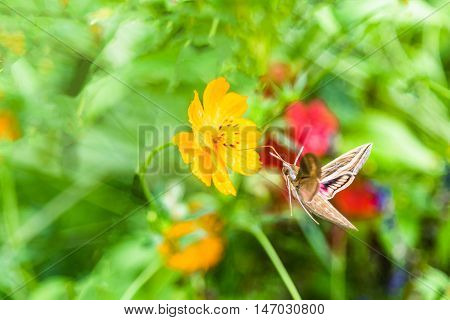 Butterfly (Hummingbird moth) is flying and feeding from yellow cosmos flower.