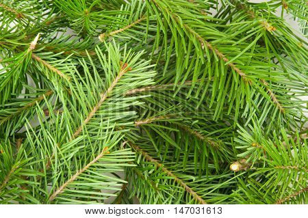 Fir tree branch background