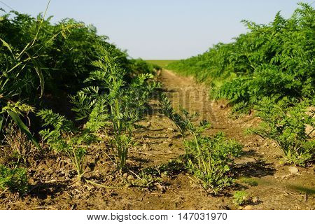 Large vegetable field with carrots in summer