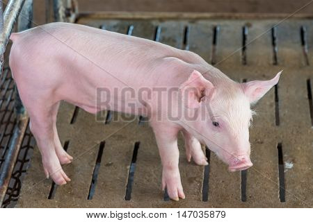 Close up of piglet in a farm.