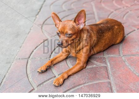 A small chihuahua dog resting in on the foot path.