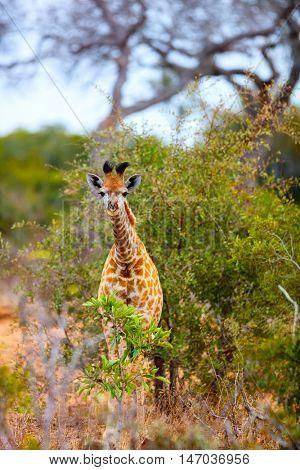 Baby giraffe in safari park in South Africa