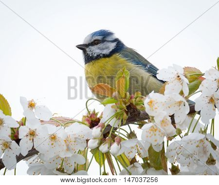 Blue Tit perched on branch with blossoms