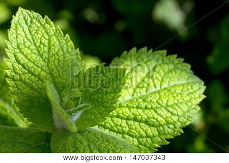 Fresh looking green peppermint leaves. Fresh mint.