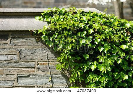 Ivy wall in Ithaca, New York