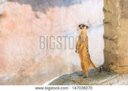 A Meerkat standing on the rock .
