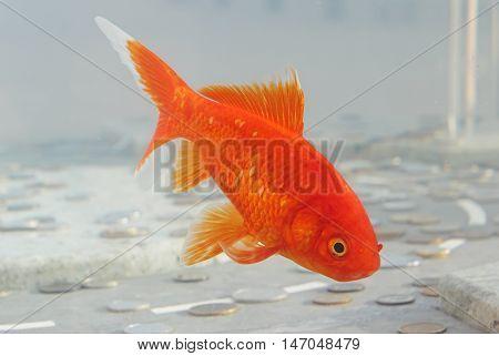 Symbol of wealth goldfish swimming in the aquarium with money