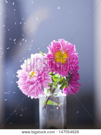 Beautiful pink aster flowers and falling petals