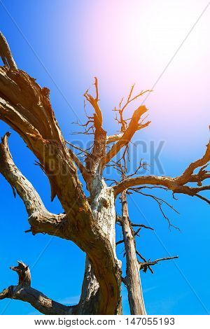 Weathered old tree branches against blue sky