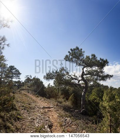 Back Light of Pine Tree. Teruel province