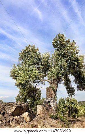 Olive Tree in Matarranya. Teruel province. Spain