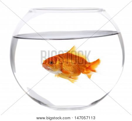 Goldfish in a fishbowl - isolated image